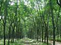 西双版纳州橡胶种植面积已达368万亩